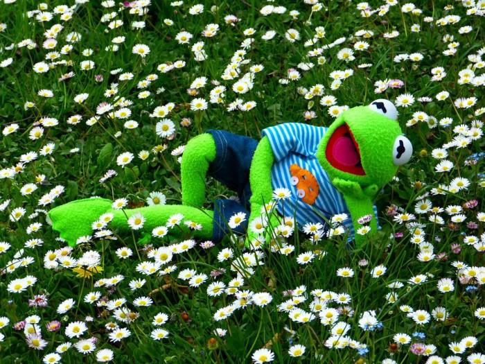 Kermit in a daisy field