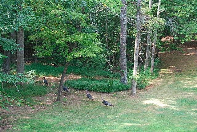 wild-turkeys-in-the-front-yard